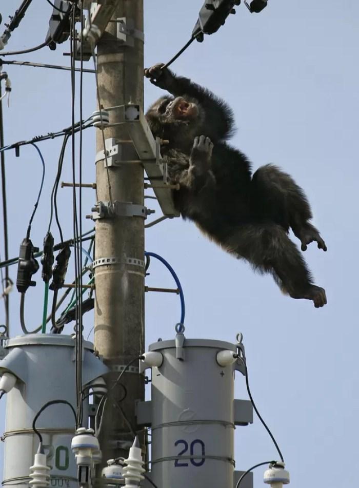 Funcionários tiveram que sedar o chimpanzé para resgatá-lo (Foto: Kyodo News/AP)