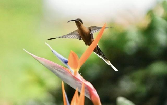 Estrelícia é conhecida também como ave-do-paraíso — Foto: Ananda Porto/TG