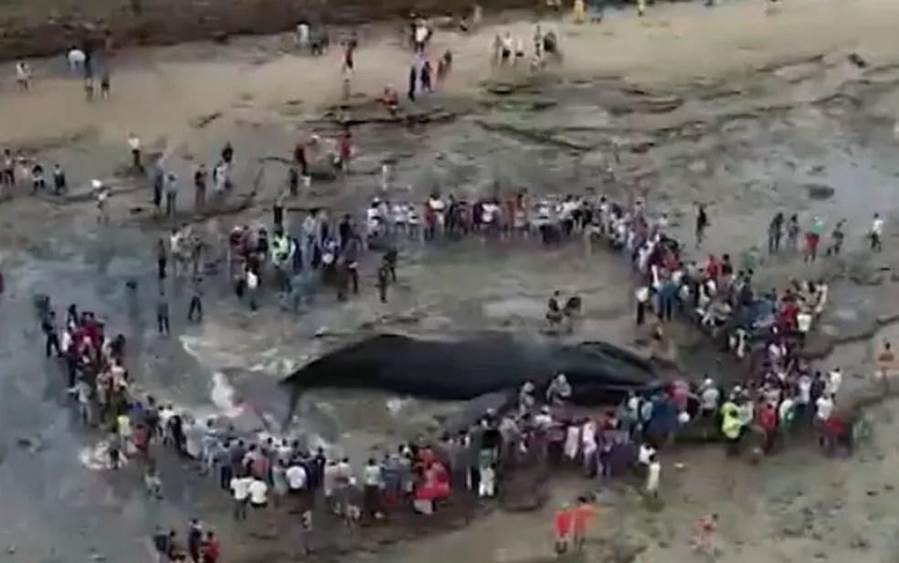 Conforme Limpurb, até sábado (31), apenas 600 kg da carcaça do animal tinha sido retirado da praia. Serviço deve ser concluído na quarta-feira (4).  — Foto: Reprodução / TV Bahia