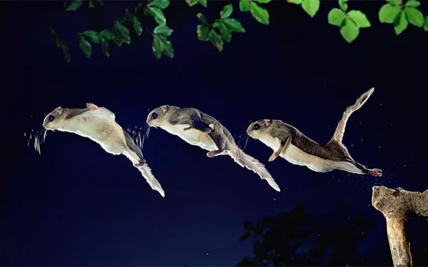 O esquilo-voador-do-sul (Glaucomys volans) têm hábitos noturnos e pesam apenas 65 gramas. Eles se alimentam de insetos e nozes (Foto: Kim Taylor/Caters)