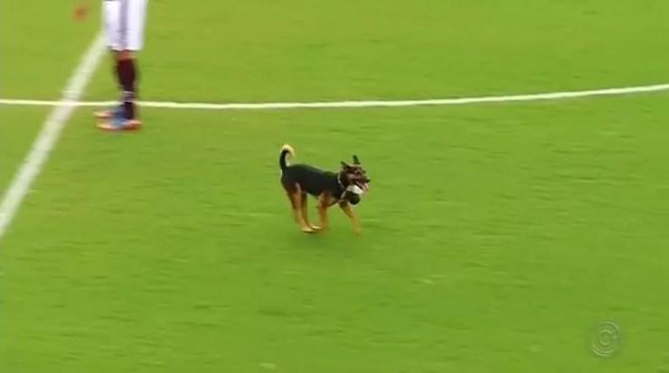 Della-Rua é o cão que invadiu campo durante a final da Copa Paulista — Foto: Reprodução/TV TEM