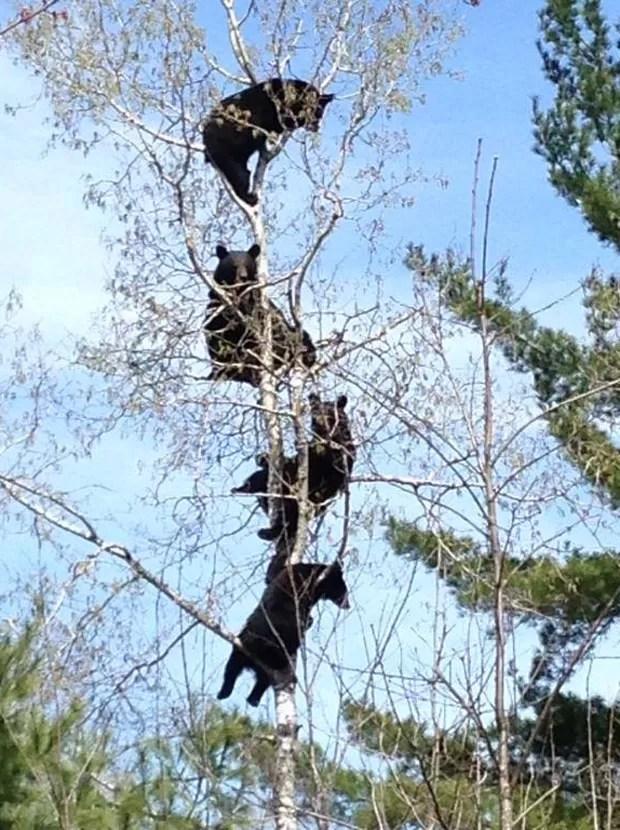 Foto de quatro ursos 'empoleirados' árvore vira hit (Foto: Reprodução/Reddit/Chobgobbler)