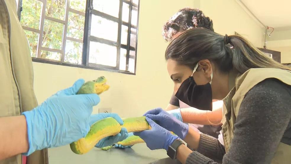 Serpente apreendida em haras passa por exames no Zoológico de Brasília — Foto: TV Globo/Reprodução