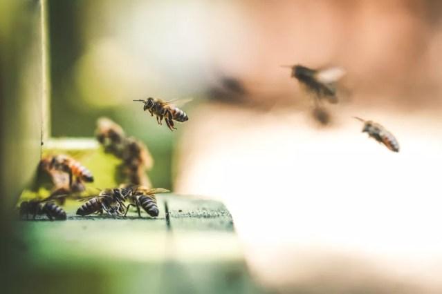 Pesquisas apontam que glifosato também afeta as abelhas — Foto: Unplash