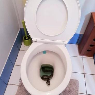 Australianos encontram cobra píton no vaso sanitário de casa - Revista Galileu | Curiosidade
