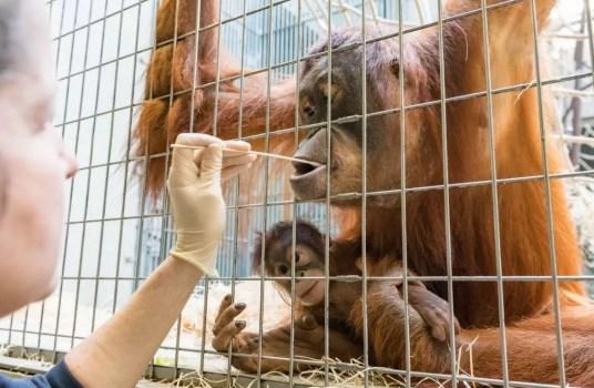 Maja, mãe de Padma, também coleta saliva para o teste de paternidade. (Foto: Basel Zoo)