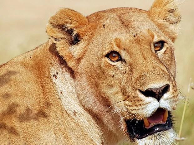 Leoa ('Panthera leo') (Foto: Laura Bertola/Nature)