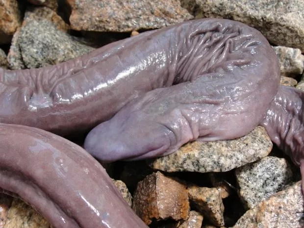 Atretochoana eiselti foi descoberta no Rio Madeira (Foto: Juliano Tupan/Divulgação)