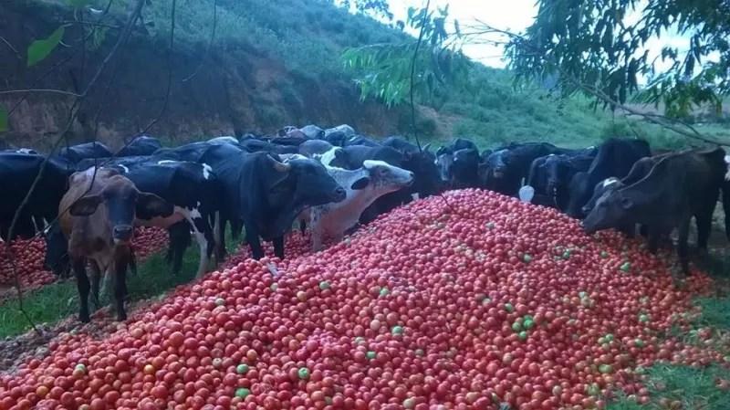 Parte do produto foi doada ou dada como alimento para gado (Foto: VC no ESTV)