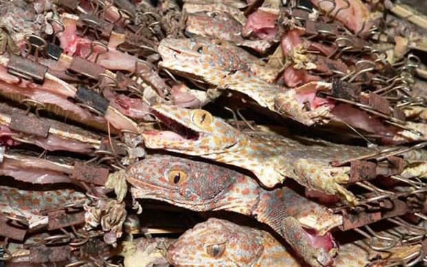 Exemplares de lagartixa-tokay encontrados em contrabando na Ásia (Foto: Divulgação/M Auliya/Traffic)