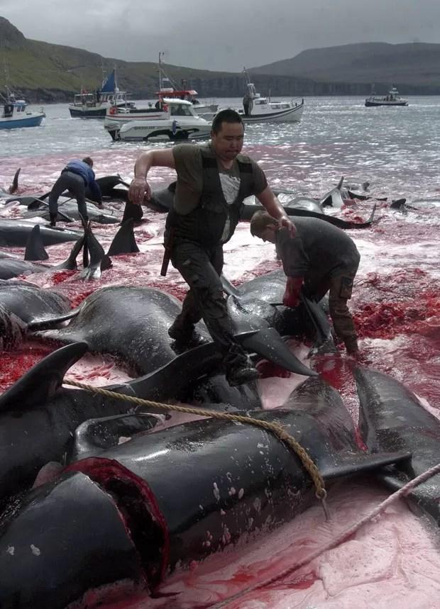 Uma tradição anual nas Ilhas Faroe, território pertencente à Dinamarca, promoveu nesta terça-feira (5) a matança de diversas baleias-piloto (Globicephala melaena). (Foto: Andrija Ilic/Reuters)