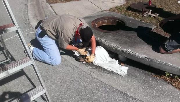 Réptil foi capturado por agentes da Comissão para Pesca e Fauna Selvagem da Flórida (Foto: Divulgação/FWC)