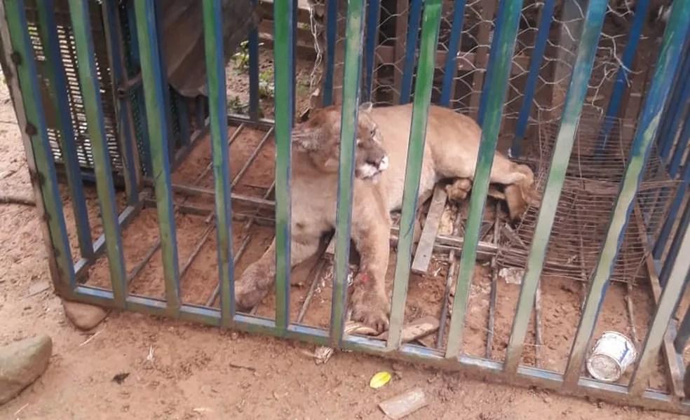 Onça foi capturada por fazendeiro na zona rural de Dom Viçoso (MG) — Foto: Divulgação/Polícia Militar