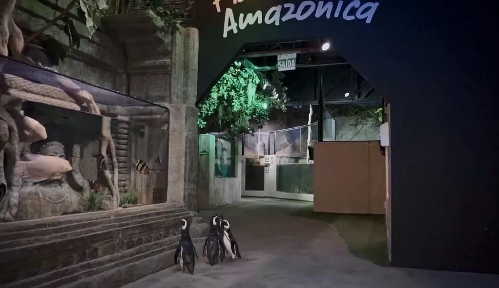 """Pinguins dão """"passeio"""" dentro de aquário em SC — Foto: RockSet/Divulgação"""