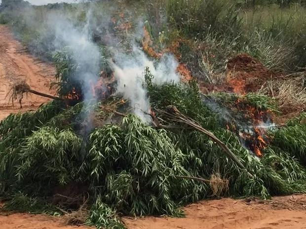 Maconha foi queimada após plantação ser destruída (Foto: Fernando Daguano/TV Tem)