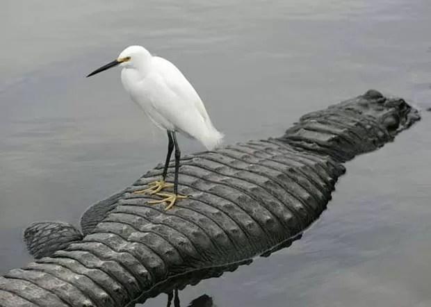 Em 2009, uma garça branca pequena foi flagrada em cima das costas de um aligátor em Orlando, no estado da Flórida (EUA). Provavelmente, a ave confundiu a 'máquina assassina' com um tronco flutuante, um disfarce que o réptil usa como armadilha. A garça, porém, escapou de virar comida do jacaré, já que o réptil só percebeu a ave atrevida quando ela voou.  (Foto: Barry Bland/Barcroft Media/Getty Images)