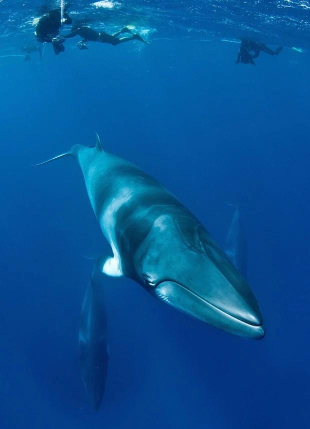 Participam do projeto pesquisadores da Austrália e do Alaska (Foto: AFP Photo/Minke Whale Project/Matt Curnock)