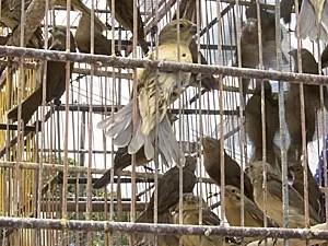 PM apreende cerca de 3 mil aves silvestres, em casa no Recife (Foto: Kety Marinho / TV Globo)