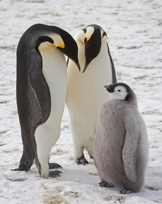 Os imperadores são a espécie de pinguim mais alta e pesada — Foto: CHRISTOPHER WALTON