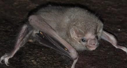 Morcego foi alvo de estudo dos pesquisadores da UFPE (Foto: Eder Barbier/Divulgação)