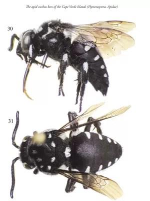 Imagens do espécime fêmea da abelha 'Thyreus aistleitneri' (Foto: Reprodução/ZooKeys)