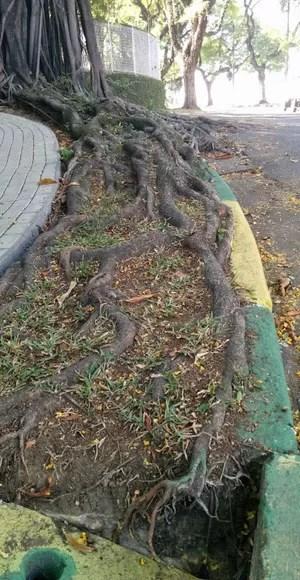 Raízes de uma árvore em São Paulo (Foto: Alexandre Mansur)