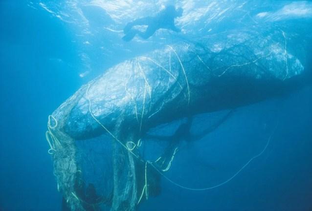 Animais marinhos são vítimas de redes de pesca e petrechos abandonados no mar (Foto: Bob Talbot/World Animal Protection)