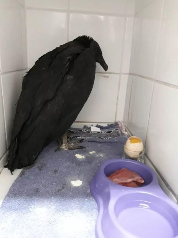 Um dia após a cirurgia, o urubu Zeca foi para o confinamento e já está se alimentando de carne e ovos (Foto: Arquivo Pessoal)