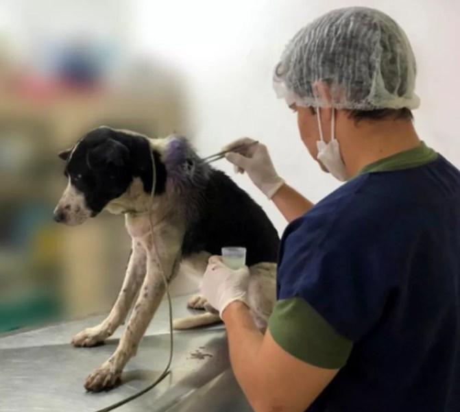 Veterinário examinou o animal e percebeu que ele tinha um grave ferimento no pescoço. — Foto: Reprodução/TV Verdes Mares