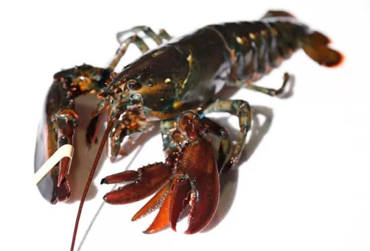 Lagosta será doada para laboratório de pesquisa marinha de Maine (Foto: Robert F. Bukaty/AP)