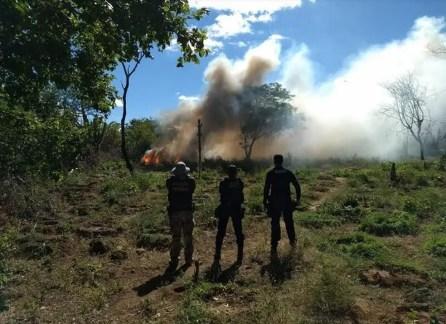 Ação erradica 4.800 pés de maconha em Cabrobó (Foto: Divulgação/ 2ª CIPM)