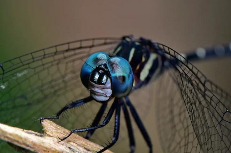 Os olhos grandes das libélulas permitem um campo de visão de 360 graus. — Foto: Denis Faria de Moura/ Arquivo Pessoal