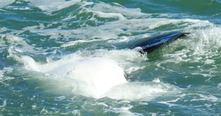 Filhote de baleia franca mostrou a barriga na Guarda do Embaú (Foto: Heverson Santos/Arquivo pessoal)