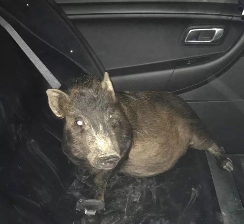 Porco foi levado ao canil municipal dentro de viatura (Foto: North Ridgeville Police Department/Facebook)