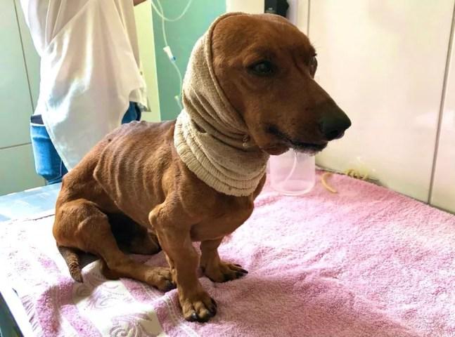 Cachorro que foi enterrado vivo foi resgatado e recebeu atendimento veterinário no Hospital Municipal Pet de Itapetininga (SP) — Foto: União Protetora do Animais de Itapetininga/ Divulgação