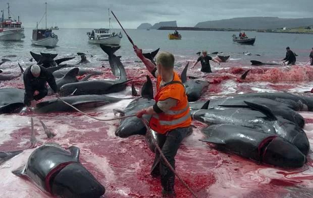 Descendentes dos vikings, os moradores das Faroe mantêm a prática do 'Grindadrap' ('caça a baleias', no dialeto local) há vários séculos. (Foto: Andrija Ilic/Reuters)