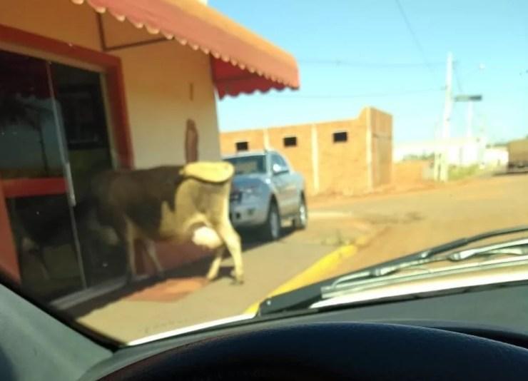 Flagrante da vaca do lado de fora do restaurante em Tabapuã (Foto: Arquivo Pessoal)