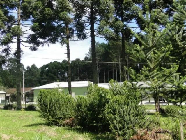 Foto mostra Araucárias menores plantadas através do enxerto de mudas e comparadas com as maiores ao fundo  (Foto: Divulgação / Embrapa )