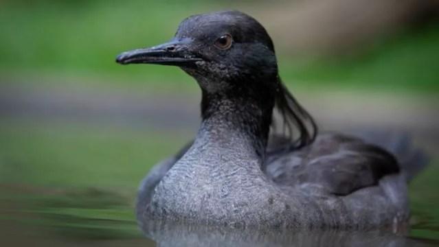Estima-se que existam apenas 250 patos-mergulhões na natureza — Foto: Rodrigo Agnelli/via BBC