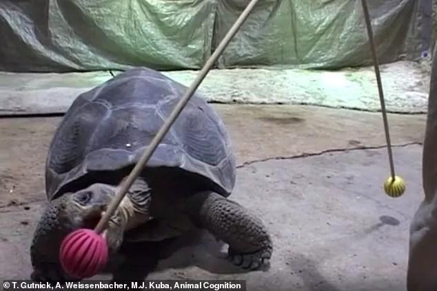 Resultado de imagem para Tartarugas gigantes podem fazer truques – e lembrar deles por até 10 anos