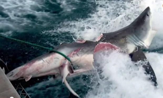 Caso semelhante ocorreu em 2009, quando tubarão foi achado com marcas de mordida impressionantes, vindas de outro tubarão com cerca de 6m de comprimento (Foto: Reprodução/YouTube/)