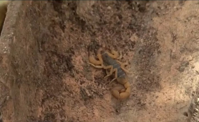 Eunápolis tem 176 casos de ataques de escorpiões no ano 3