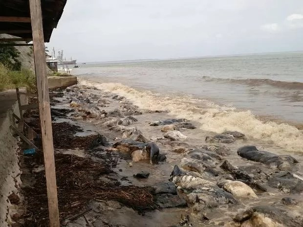 Bois mortos em naufrágio em Barcarena acumulam-se na orla de praias tomadas pelo óleo diesel que vazou de embarcação no último dia 6. (Foto: Guilherme Mendes/TV Liberal)