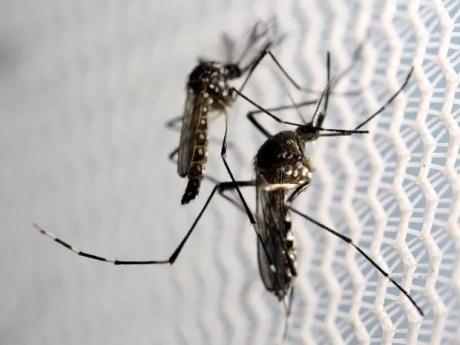Mosquito Aedes aegypti, transmissor do vírus da zika, em laboratório de Campinas, em São Paulo (Foto: Paulo Whitaker/File Photo/Reuters)