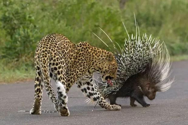 Leopardo faminto se deu mal ao atacar porco-espinho na África do Sul (Foto: Caters News/The Grosby Group)