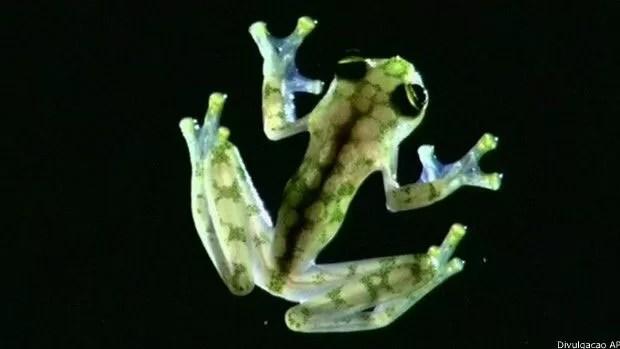 Rã transparente é caracterizada pela cor da pele, que permite que órgãos internos sejam vistos  (Foto: AP)