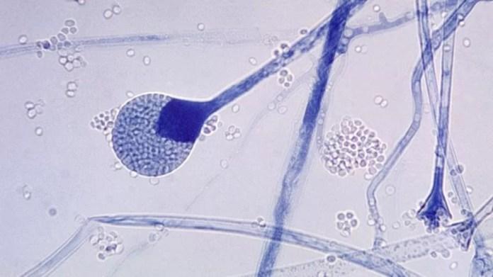 Fungo mucoso é comumente encontrado no solo, plantas, esterco e frutas e vegetais em decomposição. — Foto: Getty Images via BBC