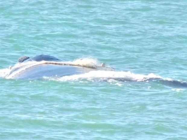 Baleia presa com filhote em rede de pesca foi encontrada encalhada em Barra de São João, RJ (Foto: Paulo Salgueiro Franco)