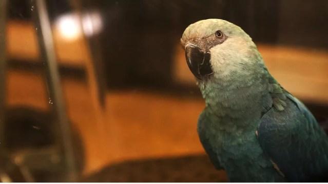 Apenas 11 ararinhas-azuis estão registradas no Brasil (Foto: Divulgação SAVE Brasil)