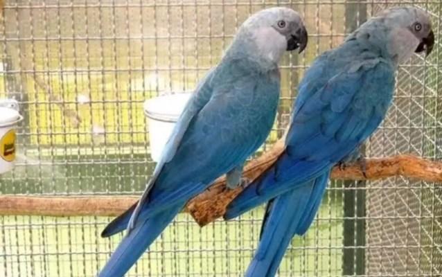 Filhotes de ararinha-azul nascem em Curaçá após 30 anos desde último registro de nascimento fruto de aves trazidas ao Brasil em 2020 — Foto: Reprodução/TV Bahia